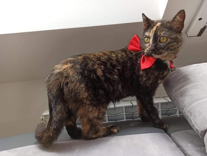 Romcia, szylkretowa kotka szuka kochającego domu
