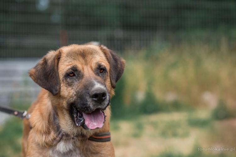 Berni - duży, mocny pies szuka konsekwentnego domu!